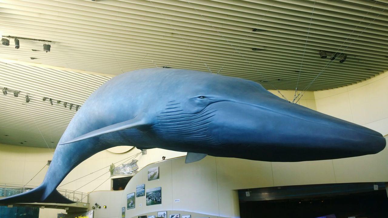 Aquarium Of The Pacific Blue Whale Replica  Aquarium