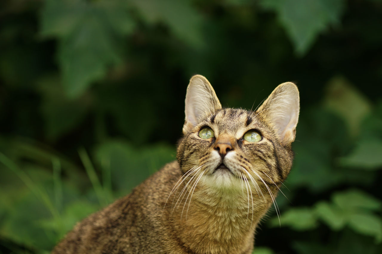 Hunting Butterflies Curious Cat Hungry Listening Plants Animal Head  Animal Portrait Attentive Attentive Cat Carnivore Cat Curious Dangerous Domestic Animals Domestic Cat European Shorthair Focussed Garden Hunting Leaves Looking Upwards Outdoors Pets Predator Tabby Cat Watching