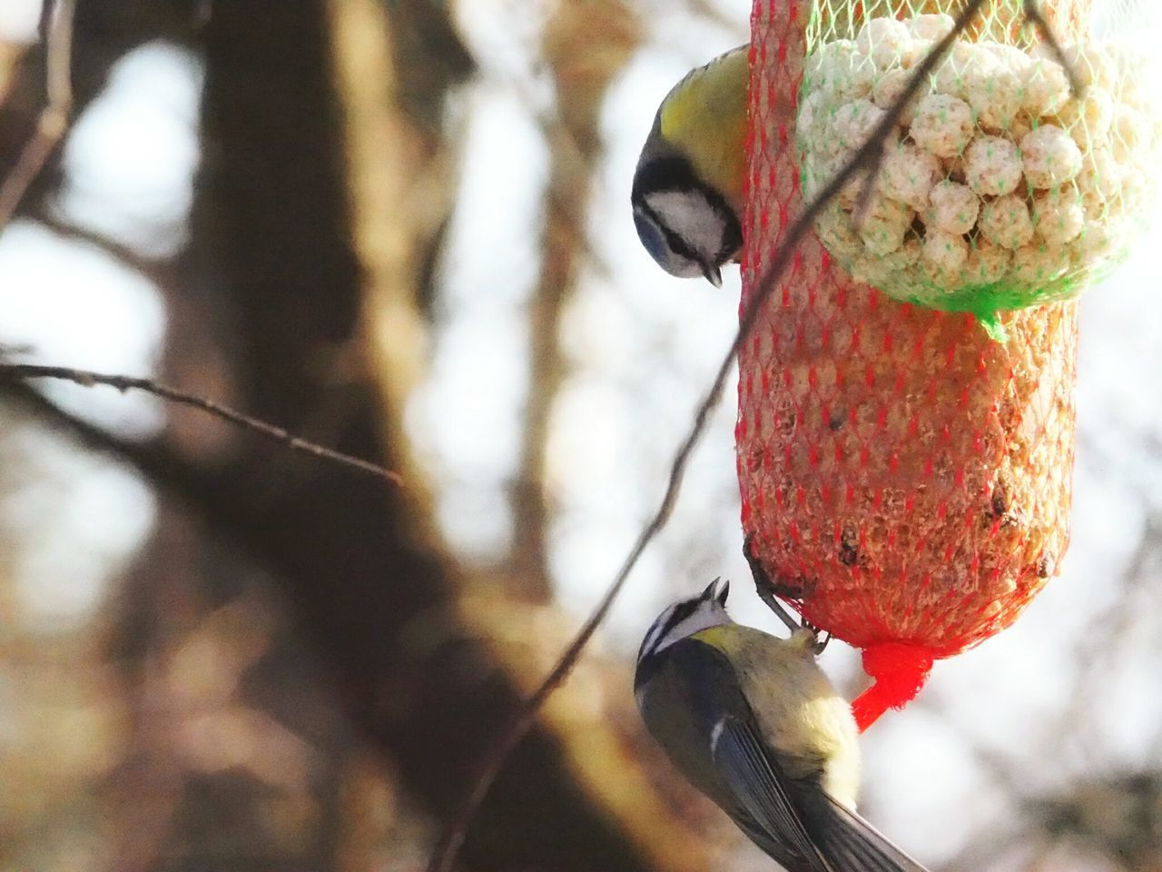 Focus On Foreground Close-up Outdoors Beauty In Nature Winter Nature Outside Nature Animals In The Wild Bird Animal Themes Bare Tree Bird Feeder Bird Eating Hanging Food