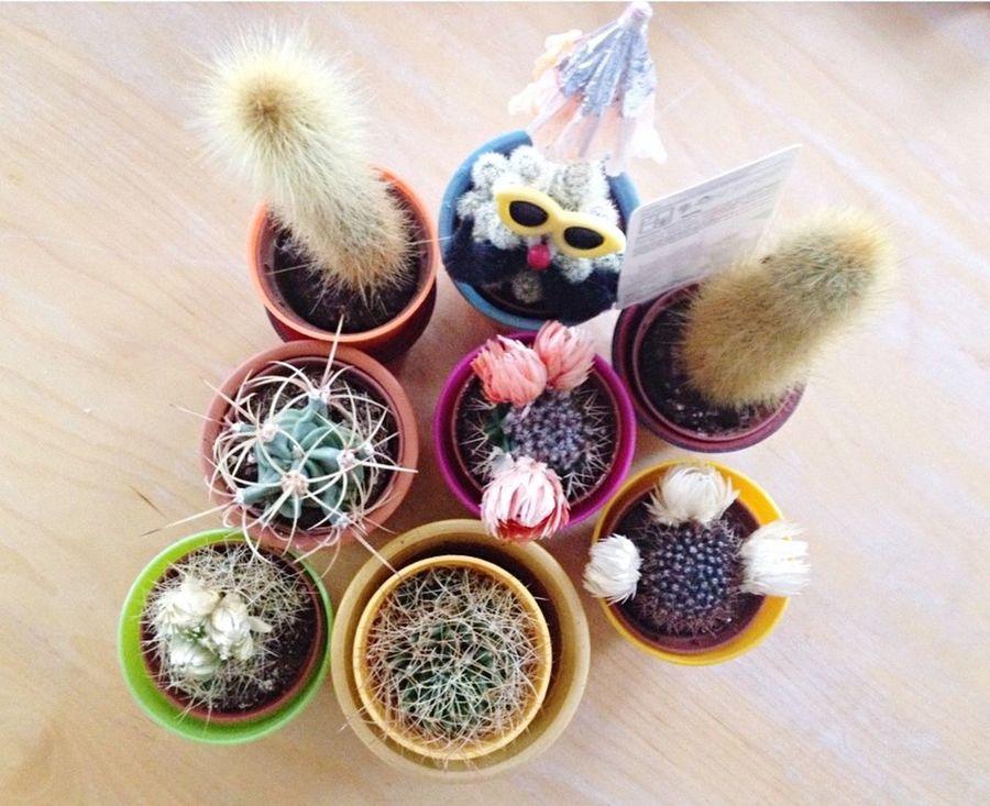Cactus love 🌵🌵🌵 Plants Cactus Cactus Flower Cacti Colours Colourful Bold Bright Flowers Decoration Plantpot EyeEm Nature Lover