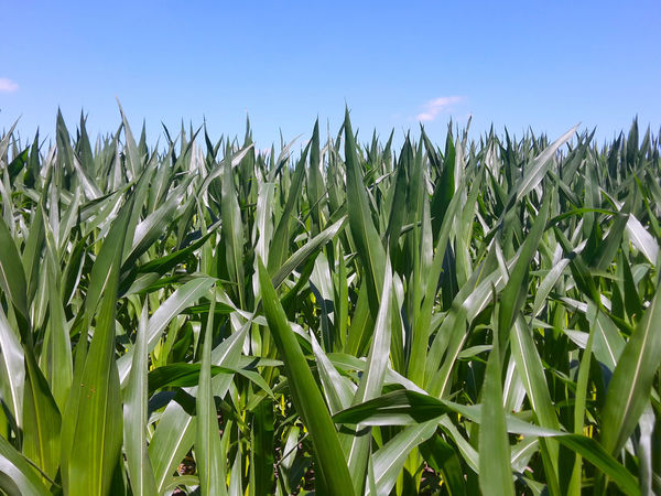 Closeup in cornfield under a blue sky Agriculture Blue Cereal Plant Cornfield Crop  Day Field Green Green Color Growing Growth Landscape Maisfeld Outdoors Rural Scene Sky