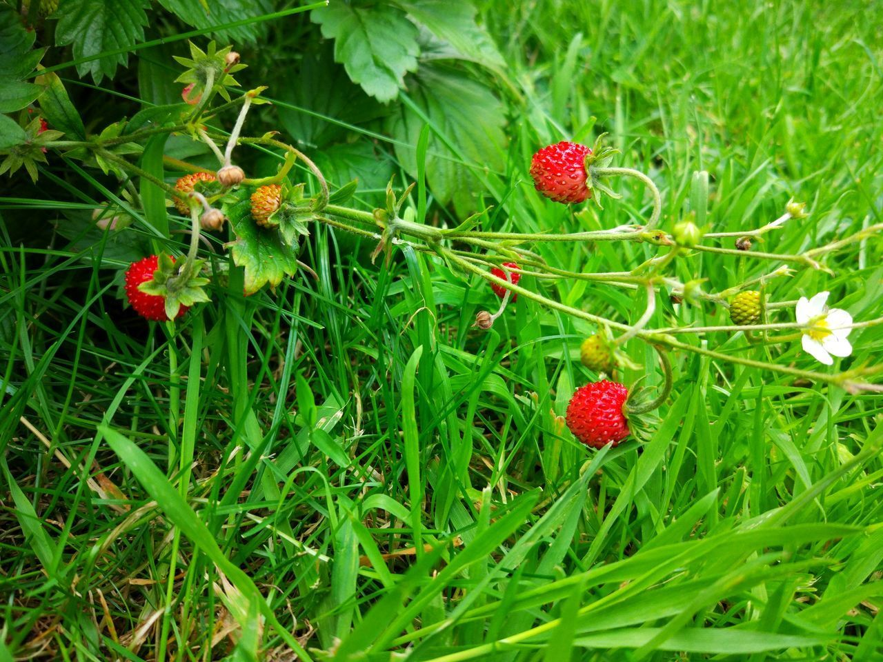 Wilde Erdbeeren / Wild strawberry 🍓 Strawberry Green Color Fruit Growth Red Field Leaf Freshness Nature Outdoors Day Plant Grass No People Food Close-up Beauty In Nature Flower