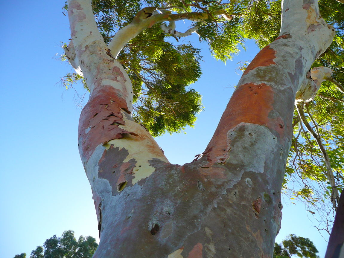 Beauty In Nature Blue Sky Background Branch Clear Sky Close-up Colourful Tree Bark Eucalyptus Tree Eucalyptus Tree Bark Low Angle View Nature No People The Great Outdoors - 2017 EyeEm Awards Tranquility Tree Trunk