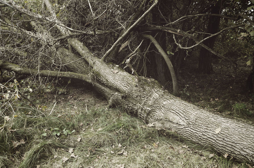 fallen tree in forest Branch Close-up Damaged Deciduous Down Fall Fallen Forest Lying Down Nature Nature No People Outdoors Plants Storm Damage Tree Tree Trees Trunk Tumble Uprooted Windblown Windthrow WoodLand Woods