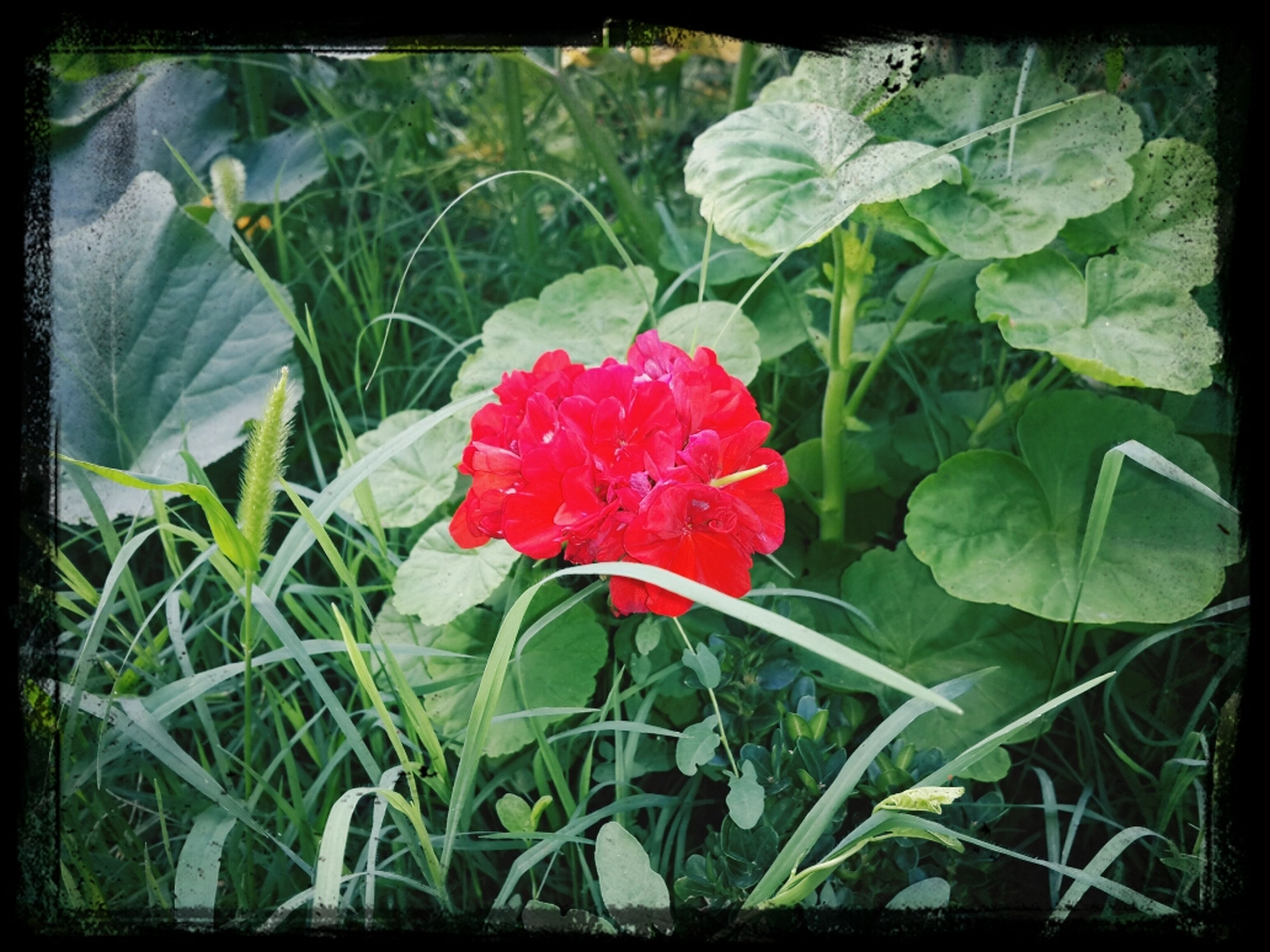 flower, transfer print, freshness, petal, growth, fragility, flower head, red, leaf, plant, beauty in nature, auto post production filter, blooming, nature, close-up, green color, single flower, in bloom, focus on foreground, field