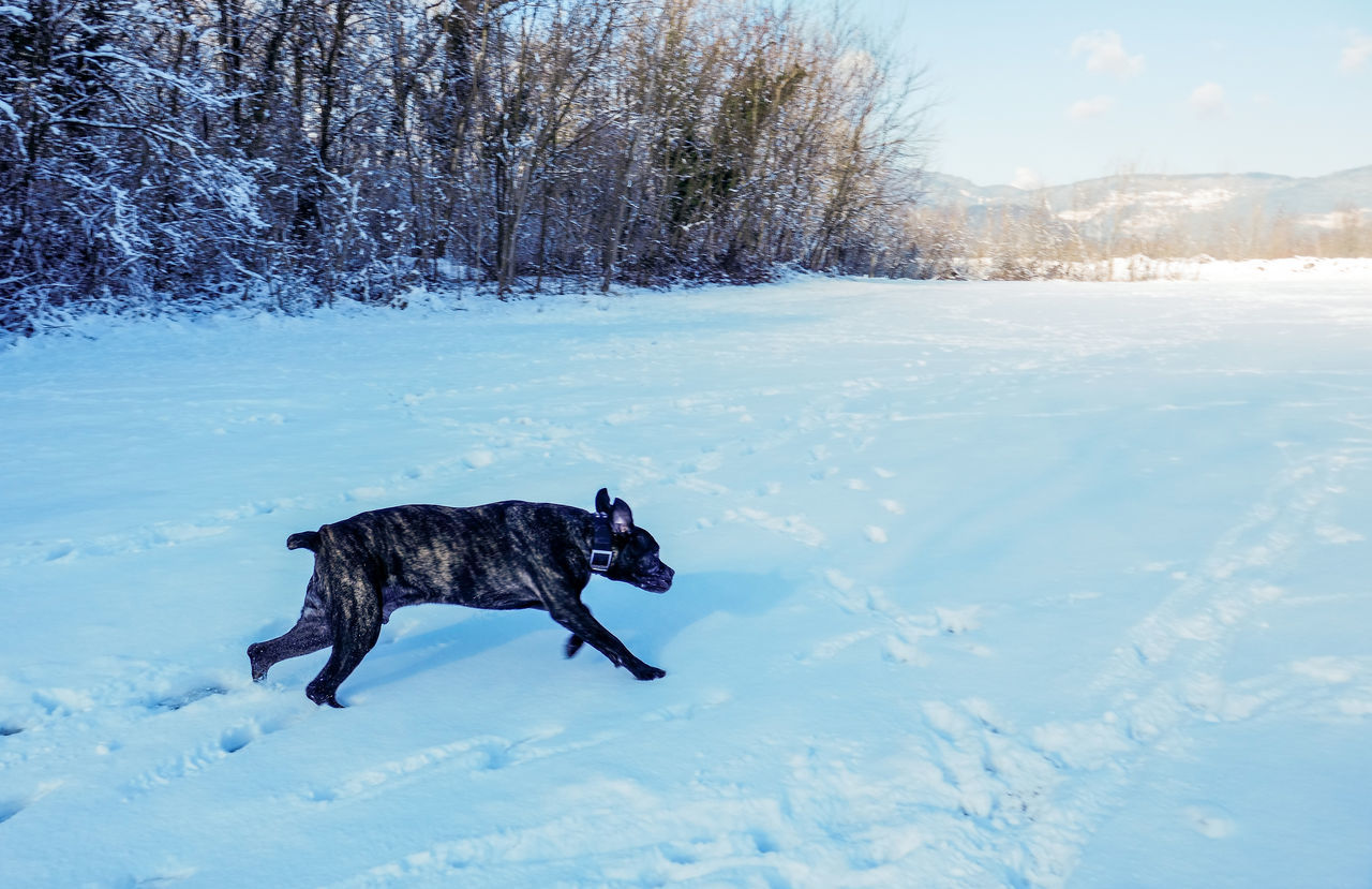 Animal Themes Beauty In Nature Big Dog Having Fu Black Labrador Cold Temperature Daily Life Day Dog Domestic Animals Fast Dog Field Mammal Nature No People One Animal Outdoors Pets Running Dog Running Late Scenics Snow Tree Weather Winter Winter Fun