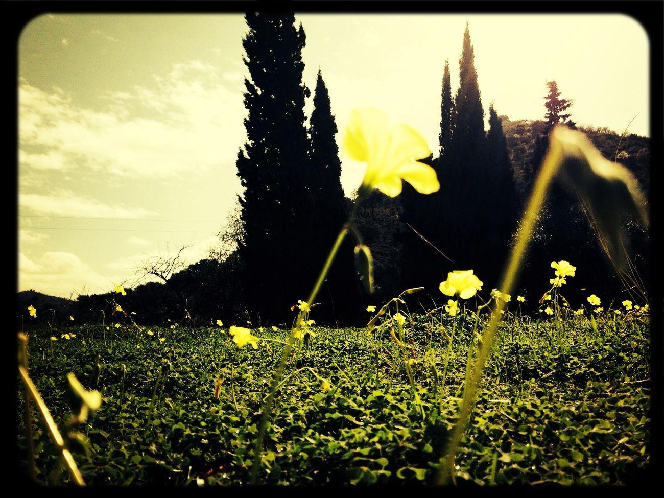 Flower Malaga Yelow