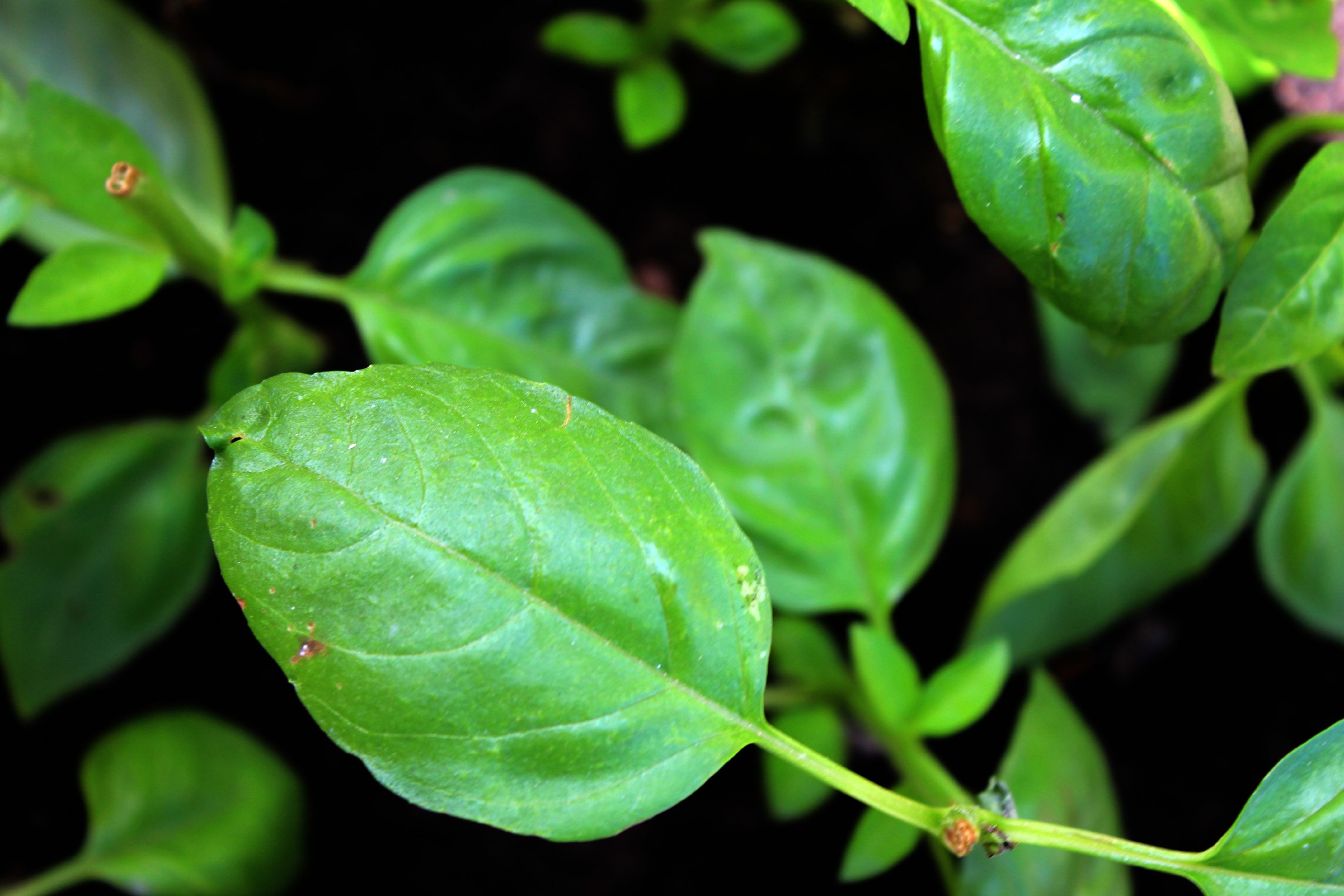 leaf, green color, growth, nature, close-up, freshness, plant, food and drink, beauty in nature, no people, outdoors, food, day