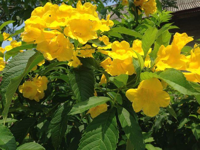Tong u rai Flower
