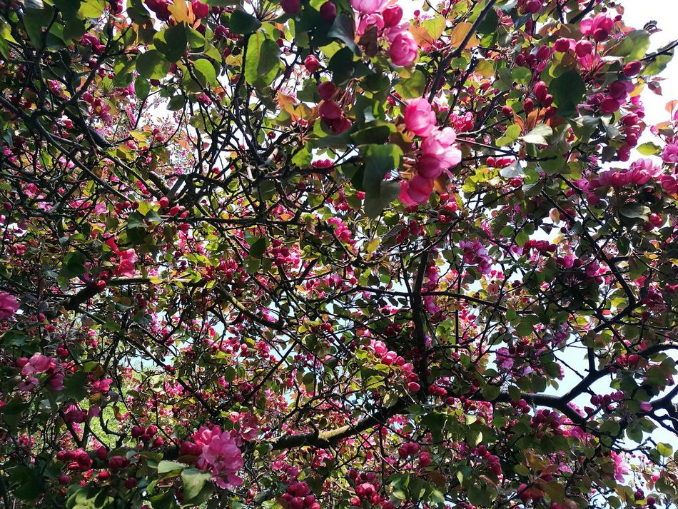 Full Frame Tree Nature Beauty In Nature Growth Outdoors Low Angle View Close-up Backgrounds Branch Street Tree Springtime April Sunny Afternoon Spring Bright Pink P9 Huawei Branches Blossoming Tree Blossom Blossoming  Blossoming Fresh & Bright Bright Colors Street Tree Photography Pink Blossom Tree