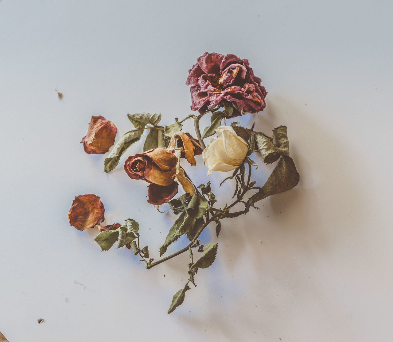 flower, rose - flower, white background, petal, studio shot, fragility, nature, no people, wilted plant, flower head, beauty in nature, dried plant, freshness, close-up, indoors, day
