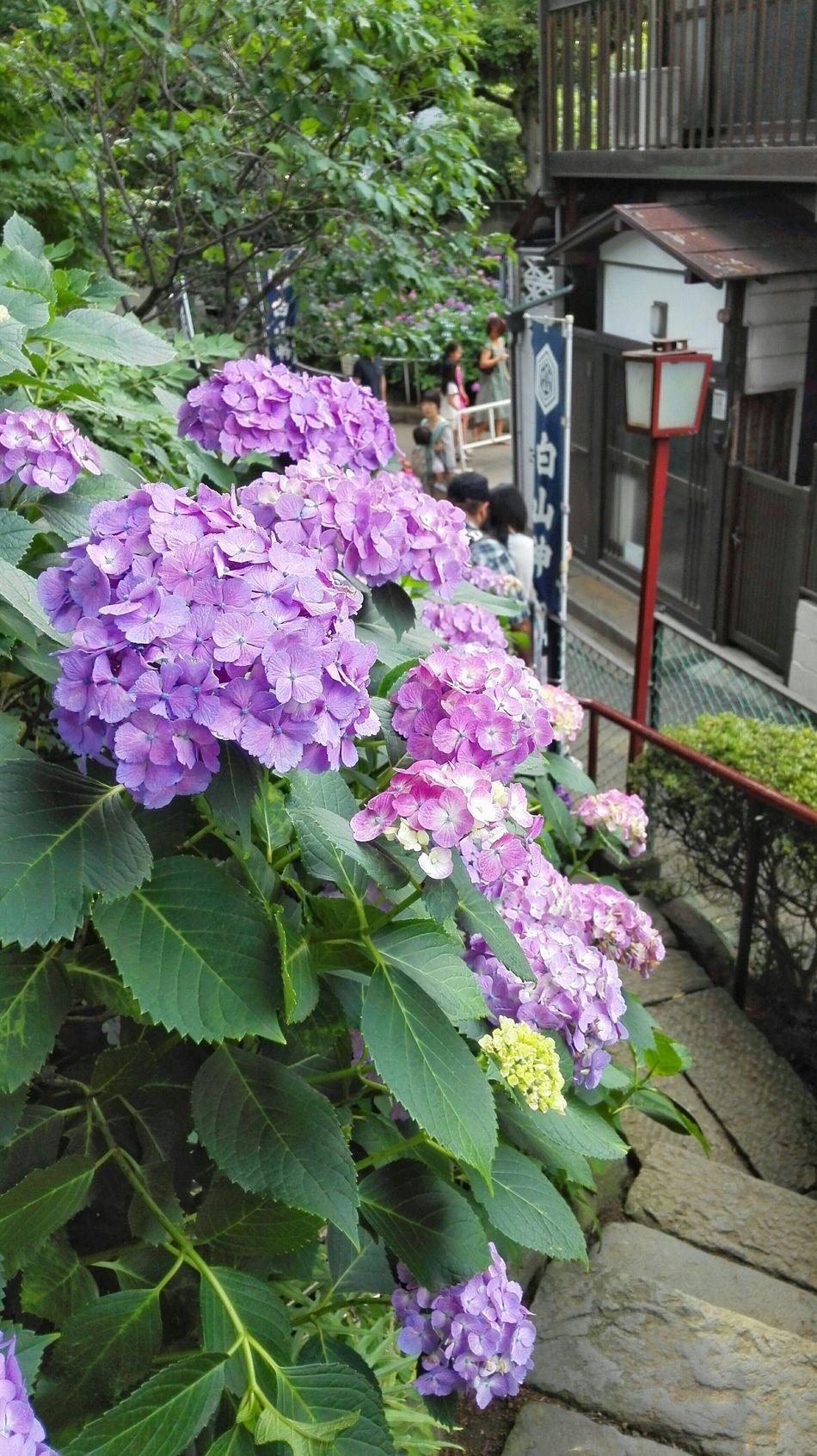 紫陽花 Flower Collection