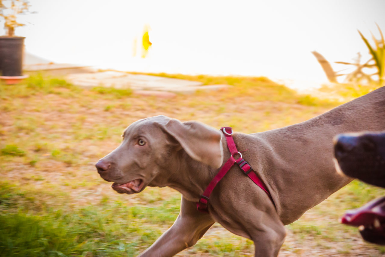 dog, domestic animals, pets, animal themes, mammal, one animal, pet collar, outdoors, focus on foreground, field, day, no people, weimaraner, grass, nature, close-up