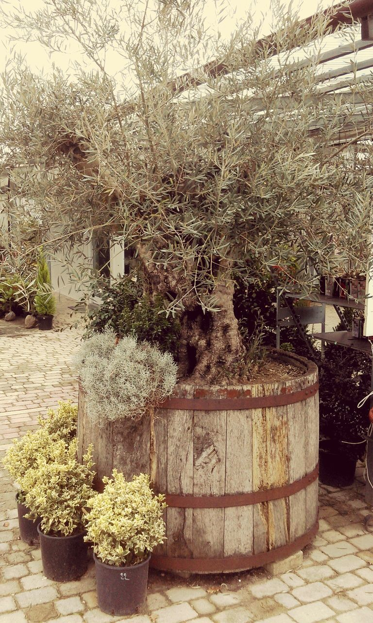 tree, growth, plant, potted plant, no people, nature, outdoors, day, beauty in nature, branch, flower, barrel, wine cask