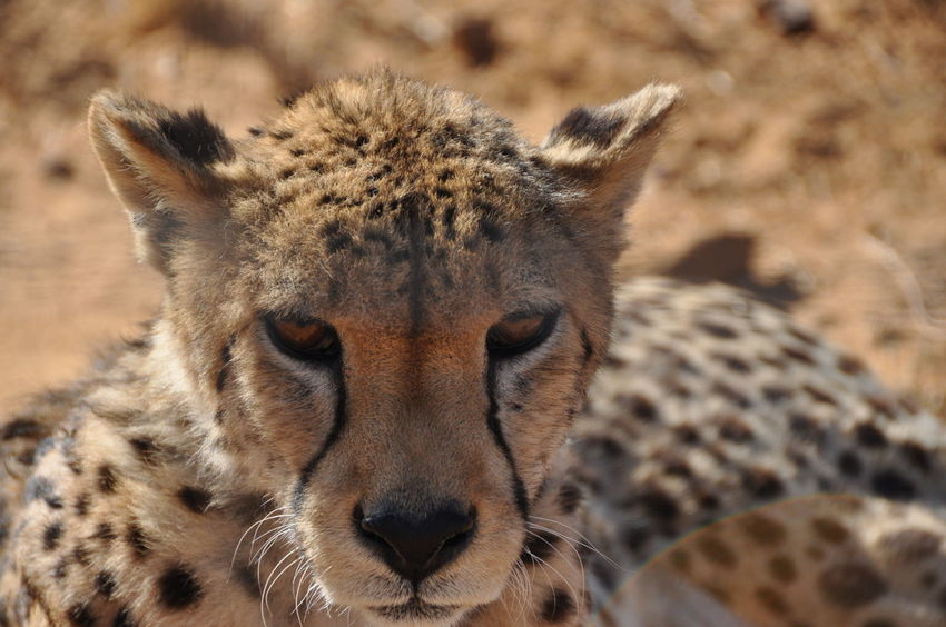 Animal Themes Animal Wildlife Animals In The Wild Aquila Game Reserve Beauty In Nature Cheetah Close-up Day Feline Looking At Camera Mammal Nature No People One Animal Outdoors Portrait