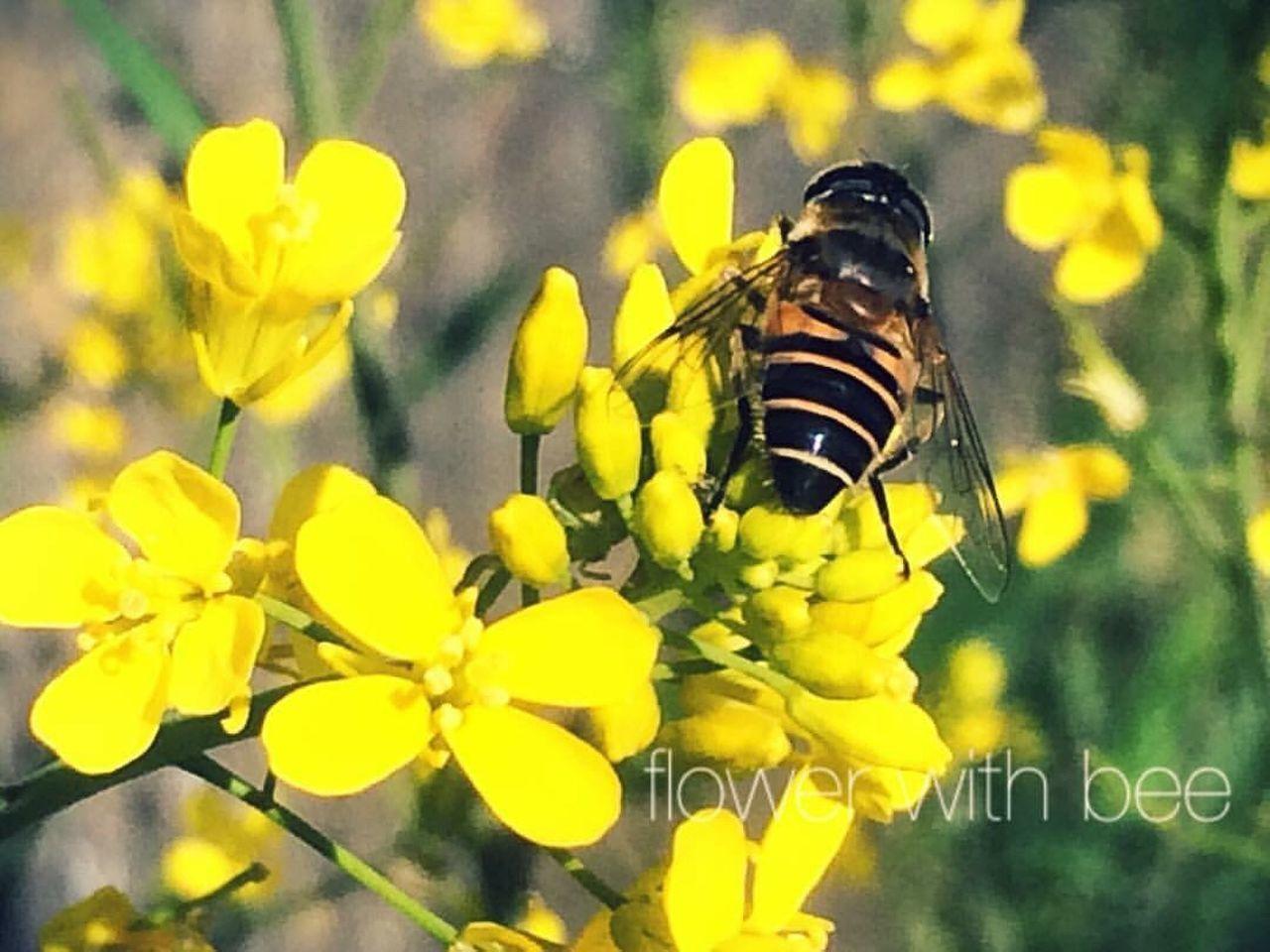 ハチ 春 菜の花 写真 Picture Pic Photography Photo Spring Springtime Spring Flowers Bee Flowers Flower Japan