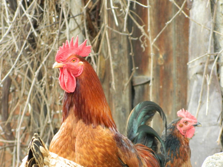Beautiful stock photos of rooster, Animal Themes, Bird, Close-Up, Day