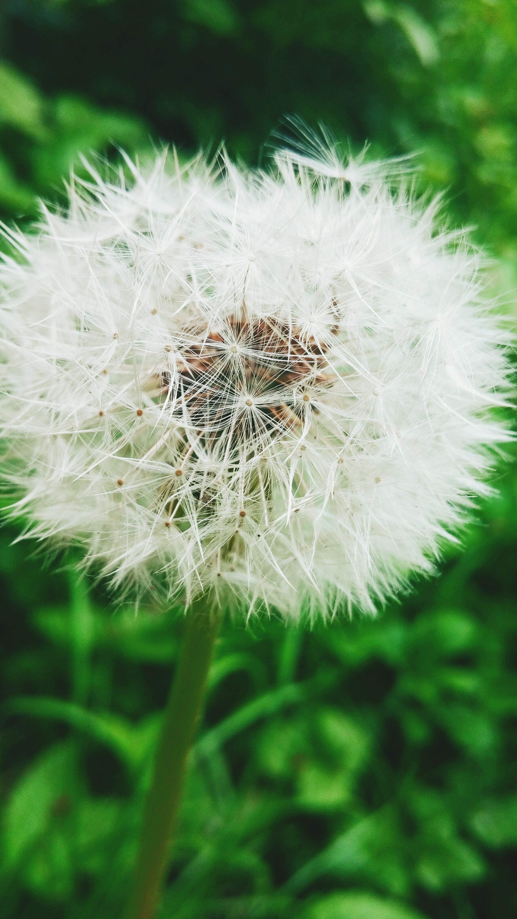 flower, fragility, nature, beauty in nature, dandelion, growth, plant, outdoors, flower head, freshness, softness, no people, dandelion seed, close-up, day, green color, wildflower, seed