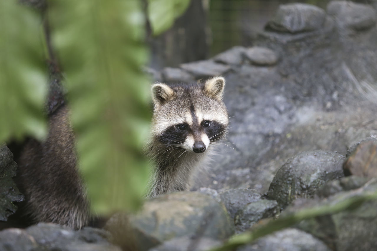 Beautiful stock photos of raccoon,  Animal Wildlife,  Animals In The Wild,  Day,  Horizontal Image