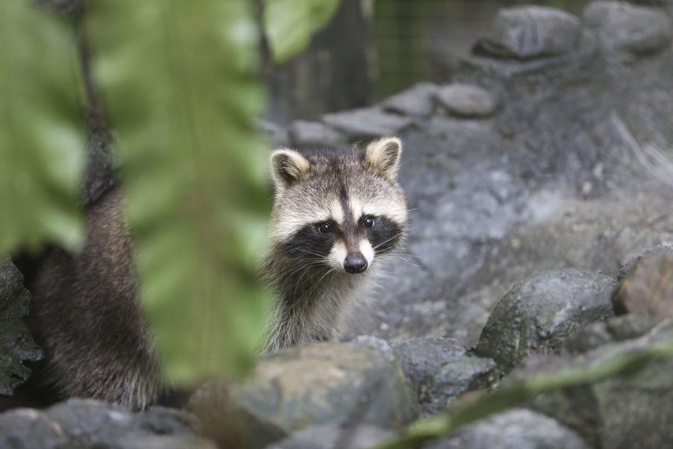 Beautiful stock photos of raccoon,  Animal Wildlife,  Animals In The Wild,  Day,  Horizontal Image