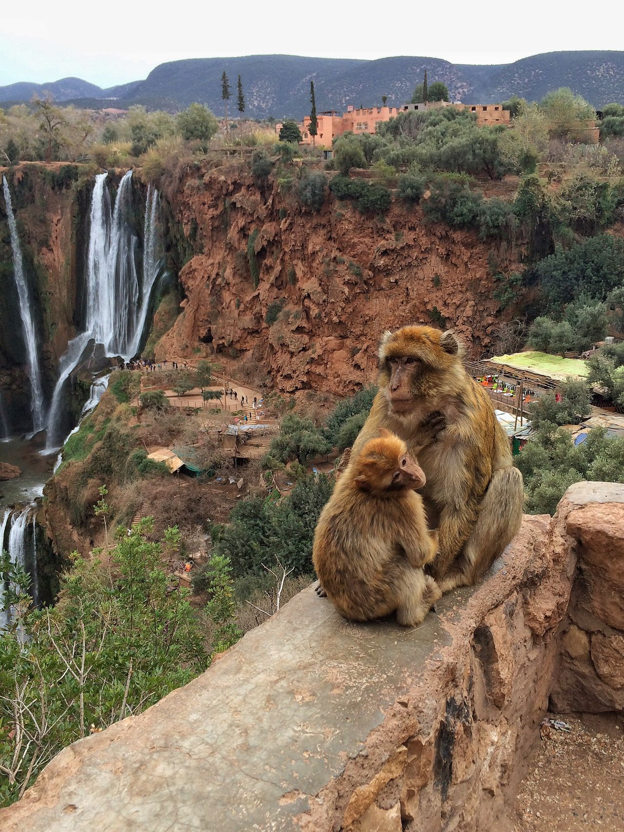 Monkies Hanging Out Check This Out Hello World Relaxing Enjoying Life View Marocco Scenic Mother Baby Wall
