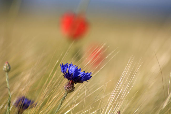 Beauty In Nature Blue Day Feld Feldrand Field Flower Kornblume Landscape Natur Nature Nature Outdoors Plant