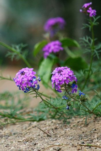 Purple Buddleja Blossoms Buddlea Buddleja Beauty In Nature Blooming Buddleia Butterfly Bush Close-up Day Field Flower Flower Head Focus On Foreground Fragility Freshness Growth Nature No People Outdoors Petal Plant Purple Purple Blossoms