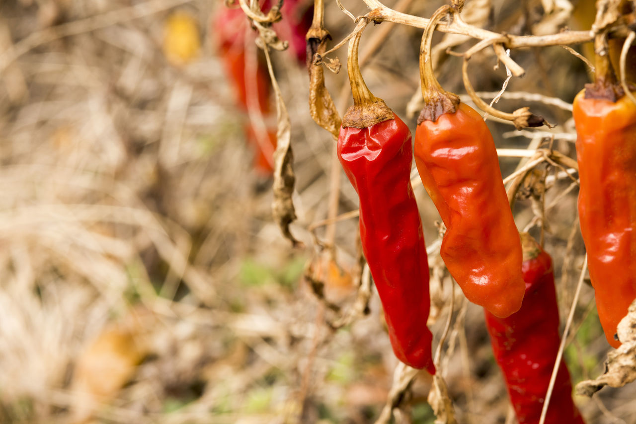 Red pepper died Branch chili Japan Branch Branches Chili  Died Died Flowers Food Japan Pepper Plant Red