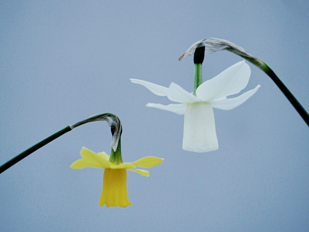 Low Angle View Of Yellow And White Daffodils Against Clear Sky