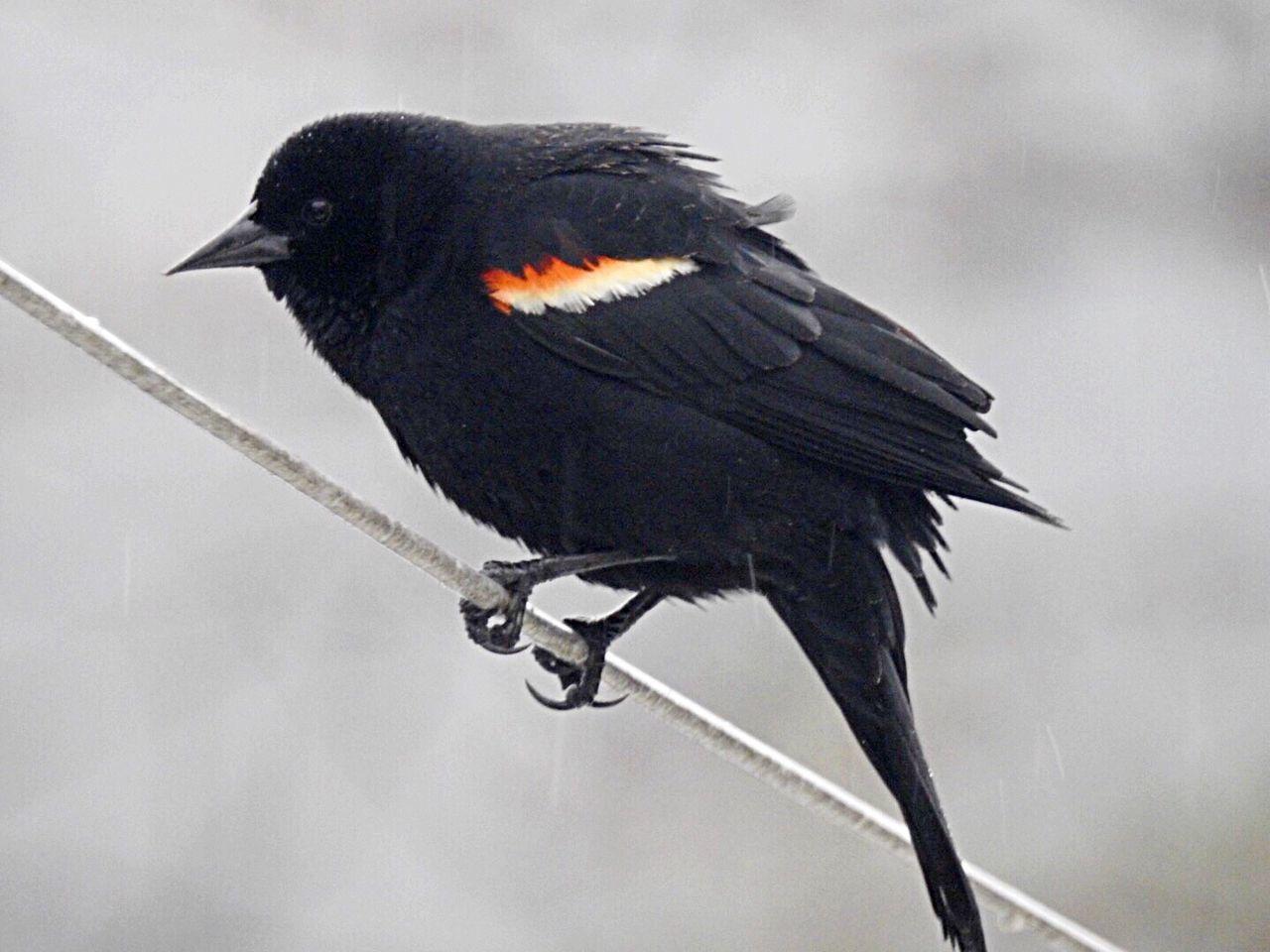 animals in the wild, bird, animal themes, one animal, perching, no people, outdoors, animal wildlife, crow, raven - bird, black color, close-up, day, blackbird, nature