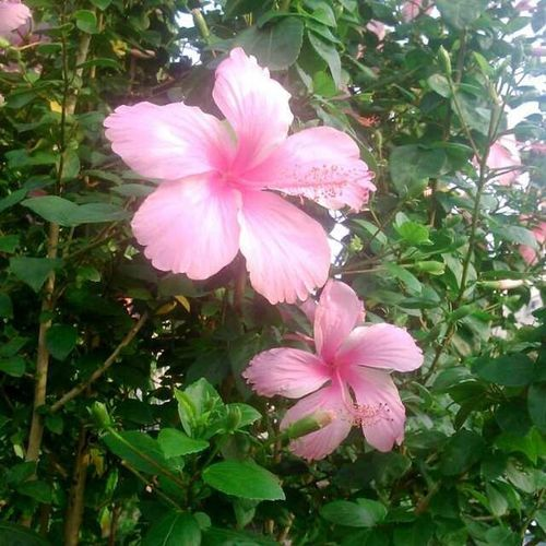 Beautyful  Pic Flower Nature Love Greenery GodBless Natural Pink Picoftheday Instapic Instalike India Phonefoto Selfshooting Park Click Lovely Scene Garden Goldyphotography Goldythakur13 The Goldythakur Punjab chandigarh indian
