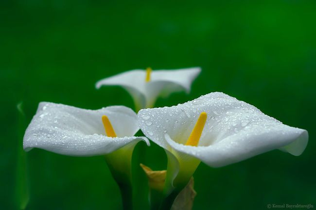 Rain Drops Flowers Calla Lily After Rain