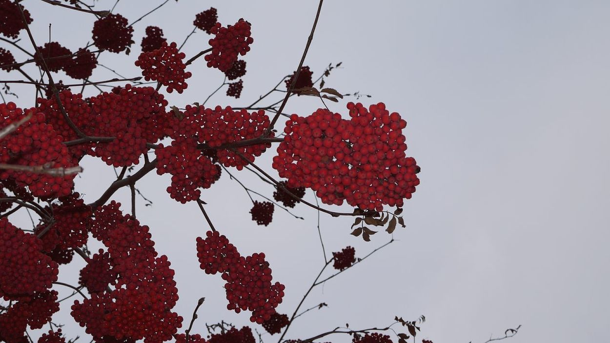 Red Outdoors Day Nature Sky Beauty In Nature Tree Fragility Close-up Autumn Harvest Freshness Berries Collection Berries On A Branch Berries On Branch Rowanberry Natural Red Red Color Rowan Red Berries Berries On Tree рябина красный рябина красная Beauty In Nature Red