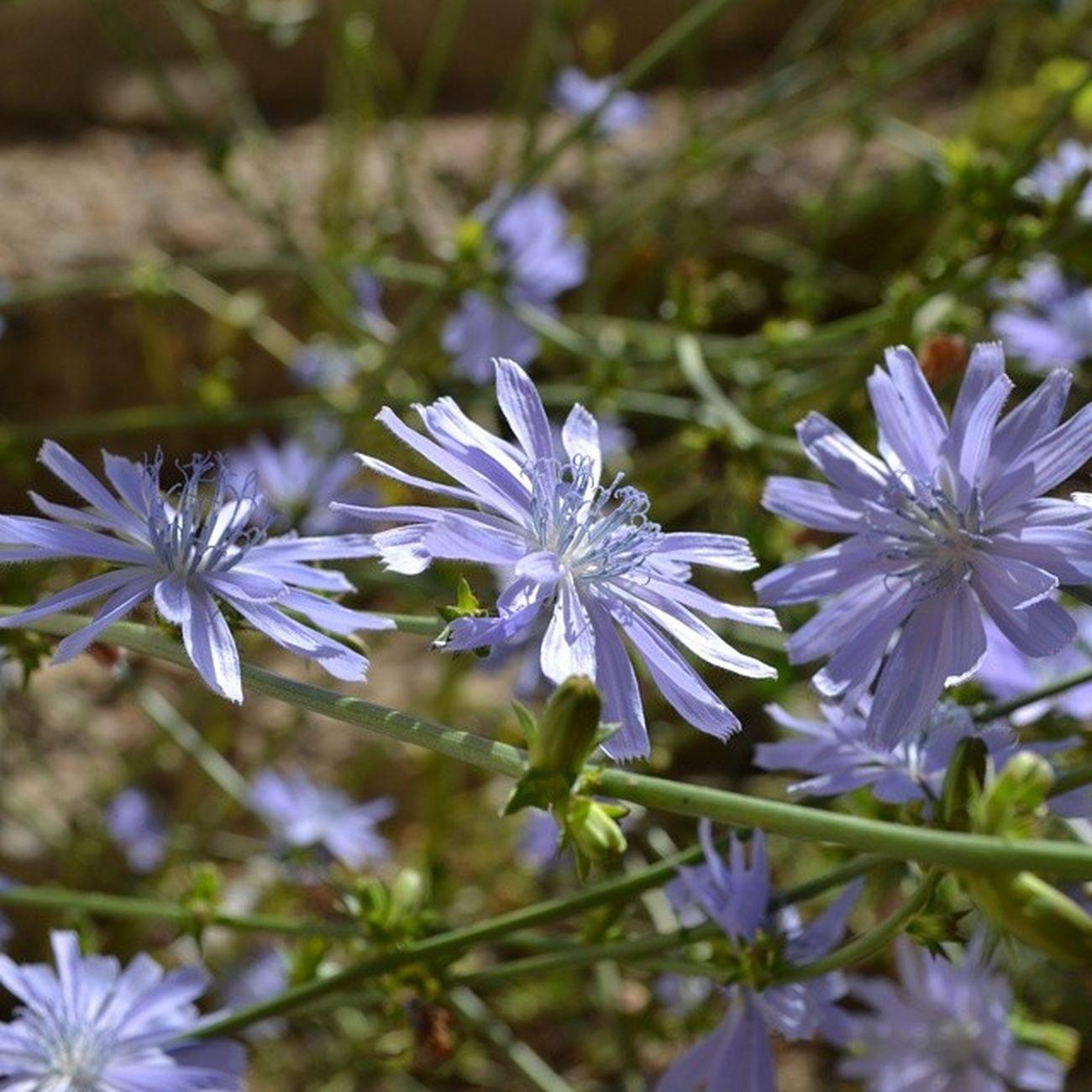 Flowers цикорий хрустальные