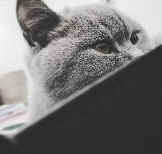 Britishshorthair Mycatisaspy Spy Cat