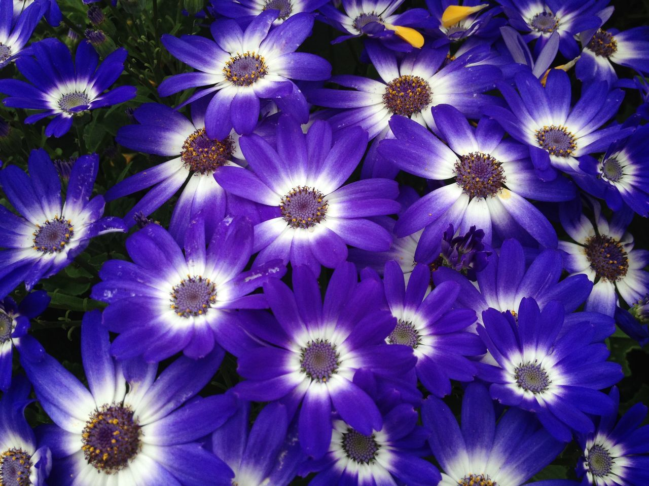Cineraria flowers Abundance Beauty In Nature Blooming Blue Botany Cineraria Flower Flower Head Fragility Freshness Growth In Bloom Nature No People Outdoors Petal Plant Purple