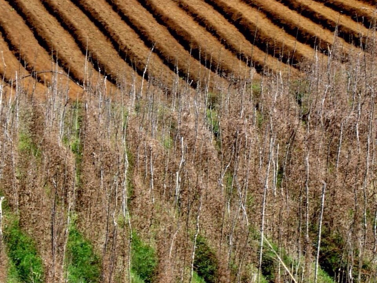 agriculture, field, farm, rural scene, nature, landscape, winemaking, outdoors, growth, day, no people