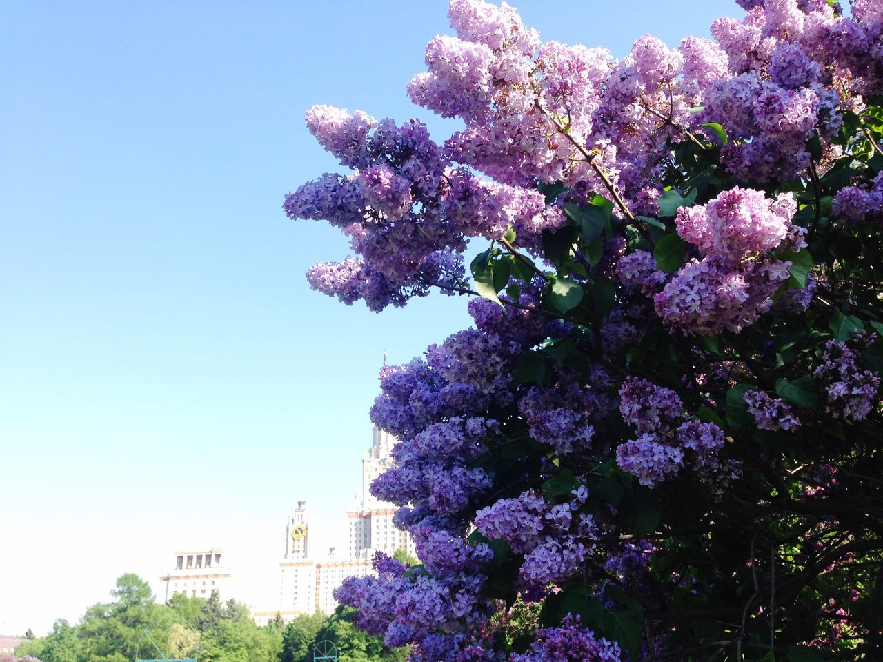 Low Angle View Of Lilacs Blooming At Park Against Saint Petersburg State University