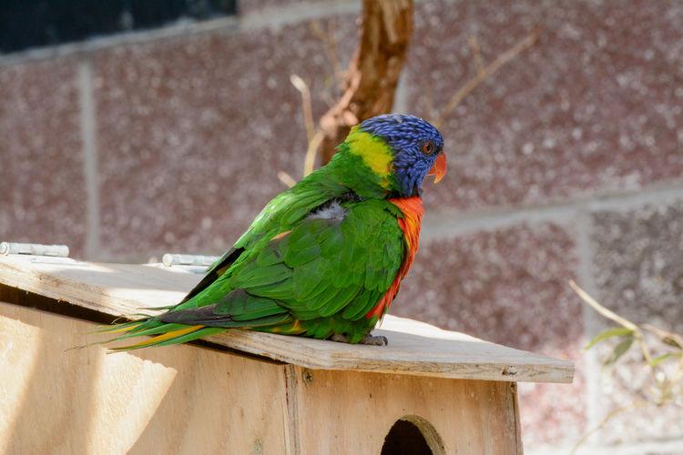 Animal Themes Bird Blue Green Color Lorakeet Multi Colored Orange Wildlife Zoo