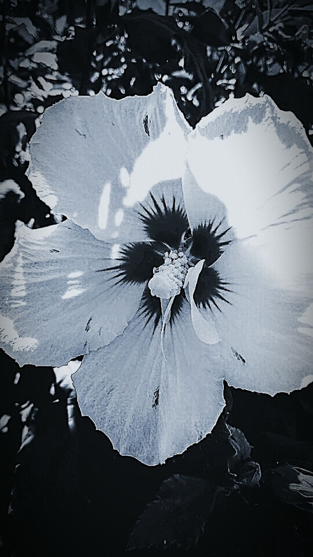 Flower Flower Head Beauty In Nature Black And White Photography Monochrome Nature Black And White Flower Collection In Bloom White Color Hibiscus Nature Up Close Flowers, Nature And Beauty Nature Outdoors Flower Photography Nature Photography This Week On Eyeem Flower Porn Macro Photography Focus On Foreground No People Beauty In Nature Single Flower Close-up EyeEm Nature Lover Eyeem Marketplace