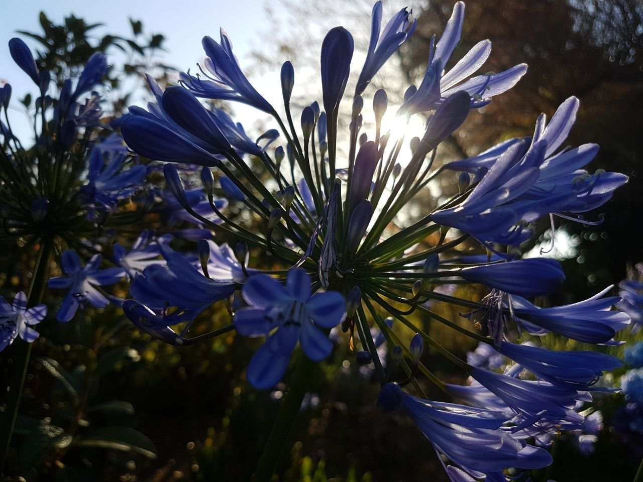 [TFC] So many angles, so many good perspectives; but always the same plant, isn't it like life? Wonderful... Growth Flower Nature Agapanthus Plant Close-up Outdoors No People Beauty In Nature Fragility Freshness Flower Head Day Enjoying Life Wonderful Scenics Simplicity Amazing Natural Pistil Growth Freshness Contrast And Lights No Filter, No Edit, Just Photography Perspective