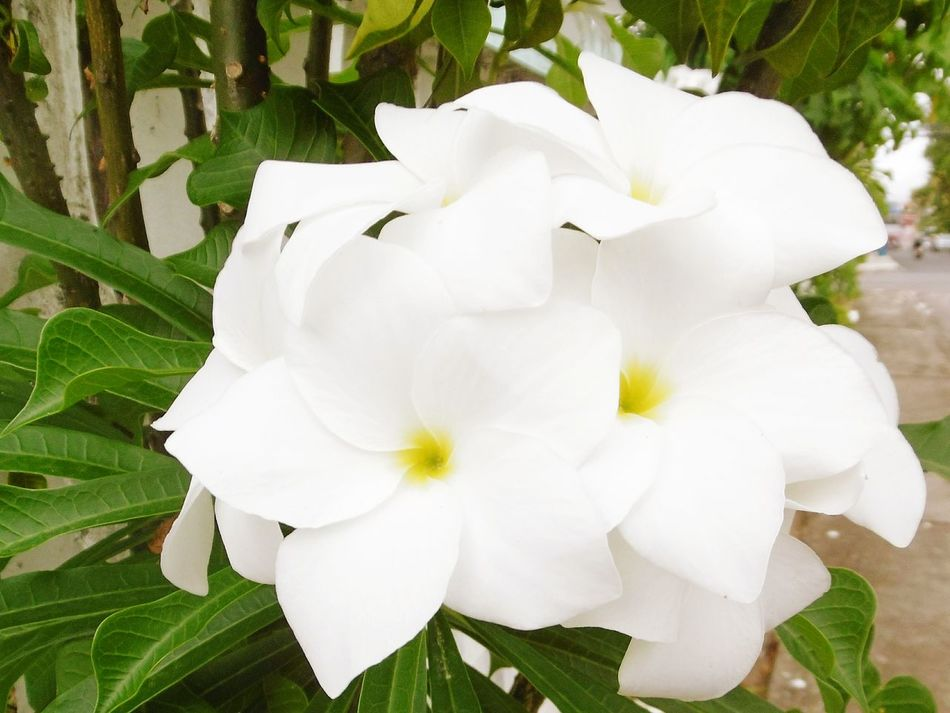 Flower Plant Nature Flower Head Fragility Leaf Beauty In Nature Petal Growth Freshness No People Springtime Close-up Outdoors Day Holidays High Angle View Backgrounds White Color White Flower Green Color ลั่นทม จำปา Frangipani Flower