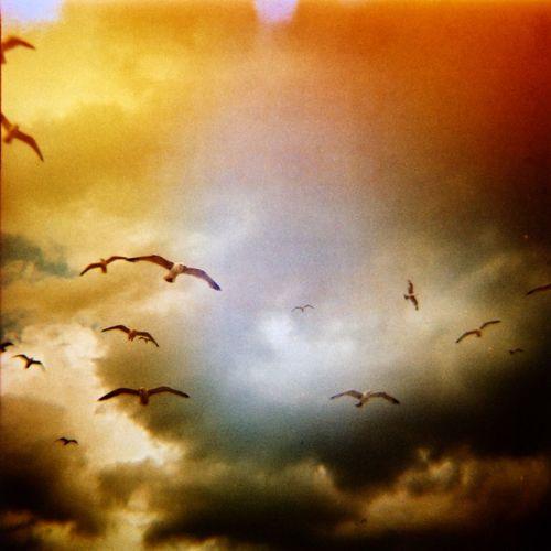 Diana birds