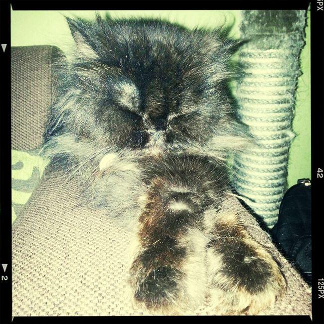 Persiancat Beautiful Animals  Catsofinstagram Animal_collection Alisha slaapt al