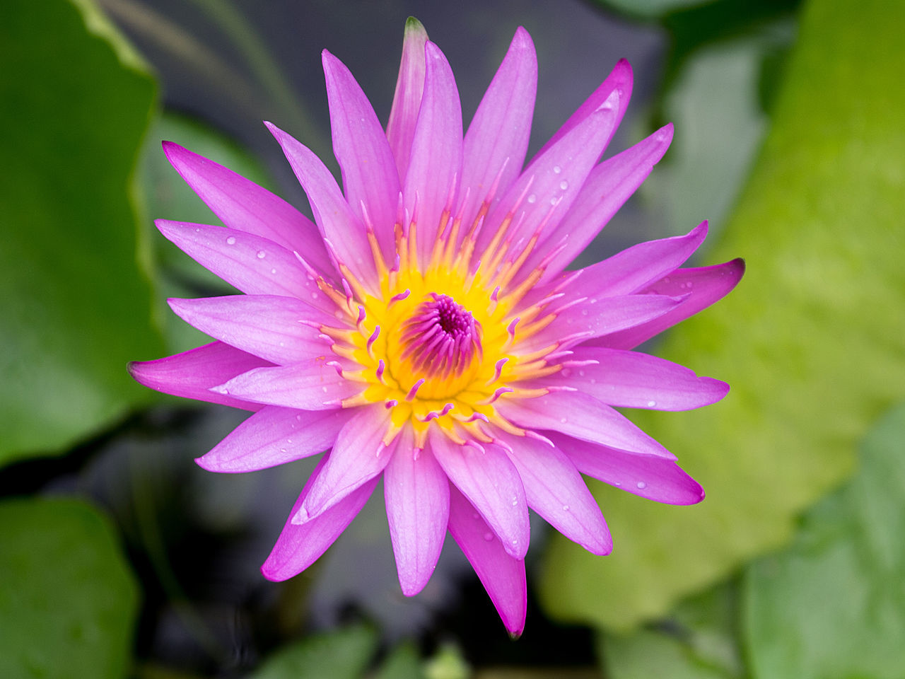 Close-up Blooming Purple Lotus in Pond Beauty In Nature Blooming Close-up Day Flower Flower Head Fragility Freshness Growth Lotus Love Nature No People Osteospermum Outdoors Petal Pink Color Plant