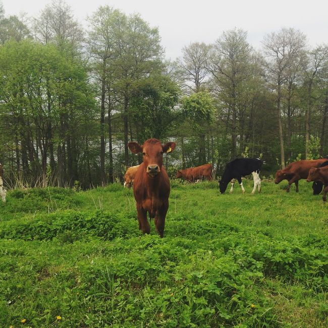 Country Life Cows Green Countryhouse Forest Animals Check This Out Love