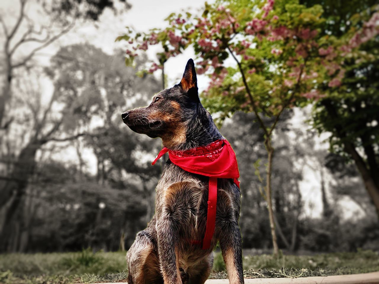 Nature blossoms and Dino enjoys it Dog Pets Domestic Animals One Animal Animal Themes Pet Collar Focus On Foreground Outdoors Mammal Tree Day No People Sitting Nature Spring Springtime Blue Heeler Australian Cattle Dog Bandana The Great Outdoors - 2017 EyeEm Awards