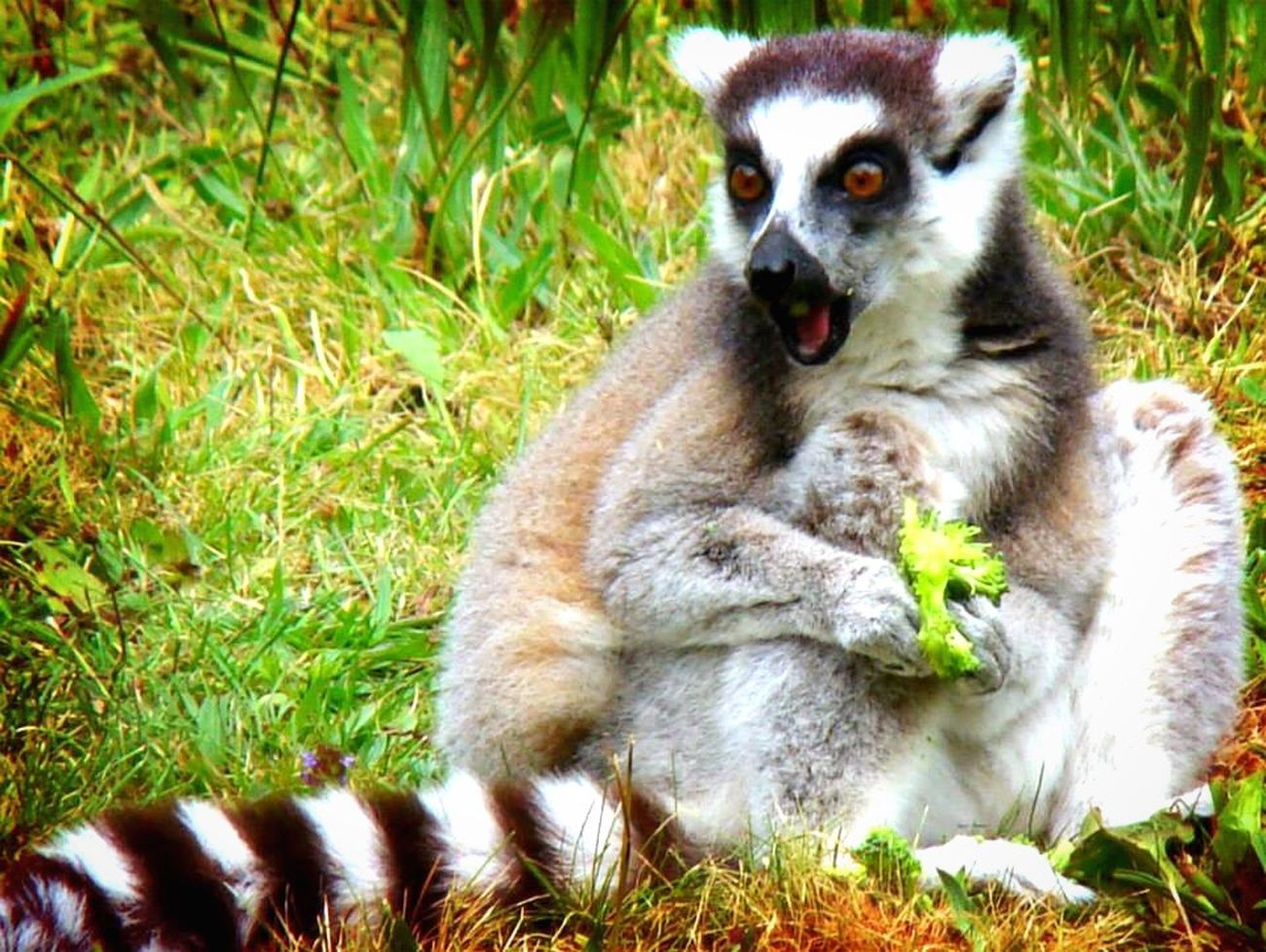 I think it's a kind of lemur Animal Beautiful Animals  Lemur? Broccoli Grass Sun Animal Photography Shocked Surprised
