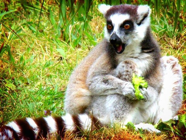 I think it's a kind of lemur Animal Beautiful Animals  Lemur? Broccoli Grass Sun Animal Photography Shocked Surprised