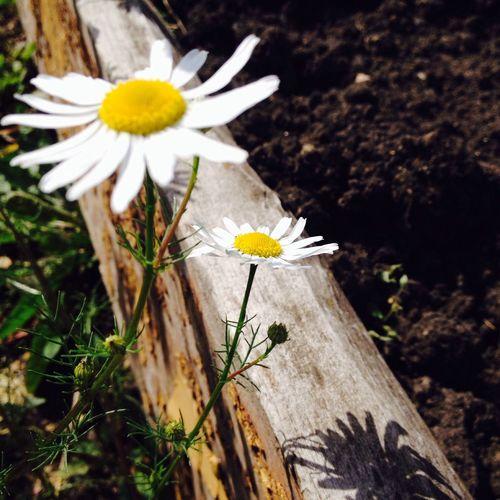 Nature Flowers Summer romashka 🌞